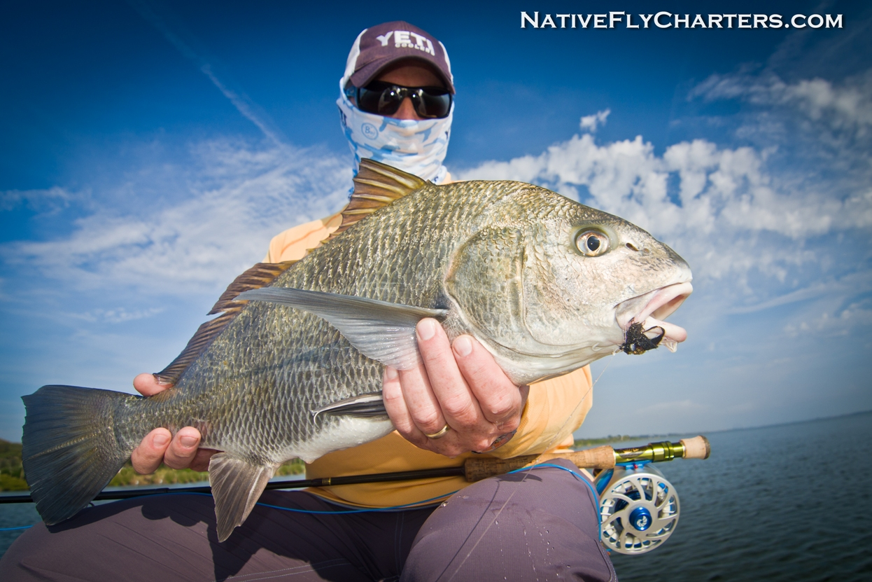 Mosquito Lagoon Black Drum on fly