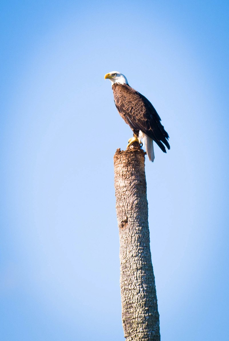 mosquito lagoon bald eagle