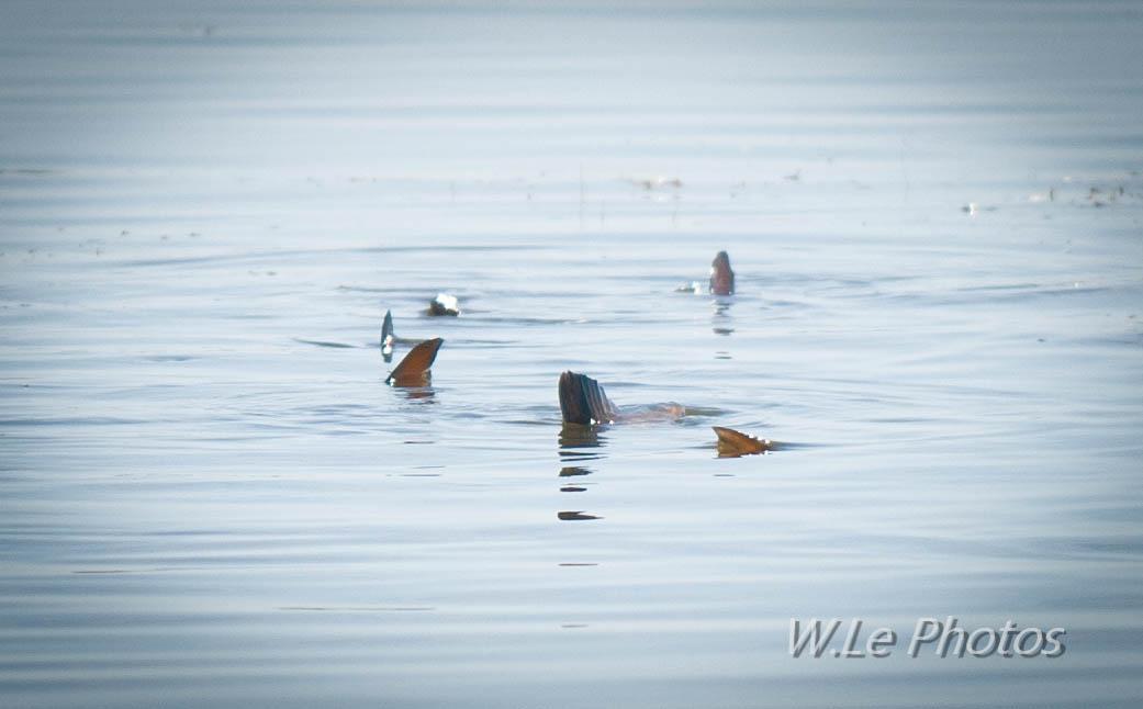 mosquito lagoon redfish