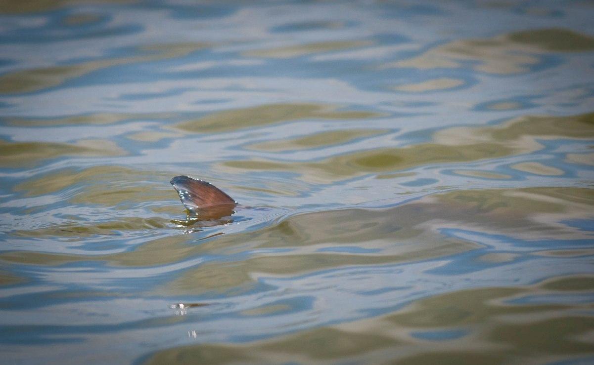 mosquito lagoon tailing redfish